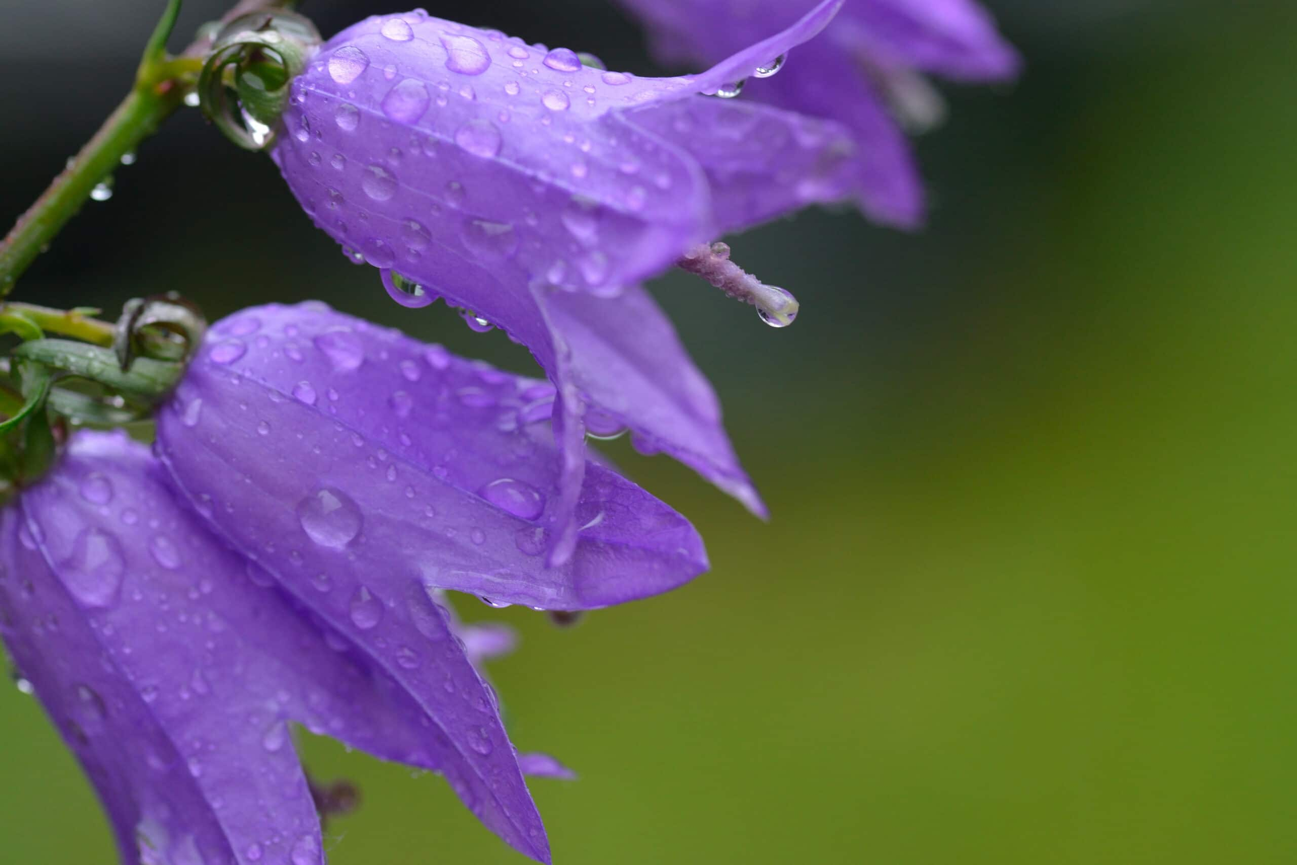 Pretty purple Viking Bellflowers after a rainstorm.