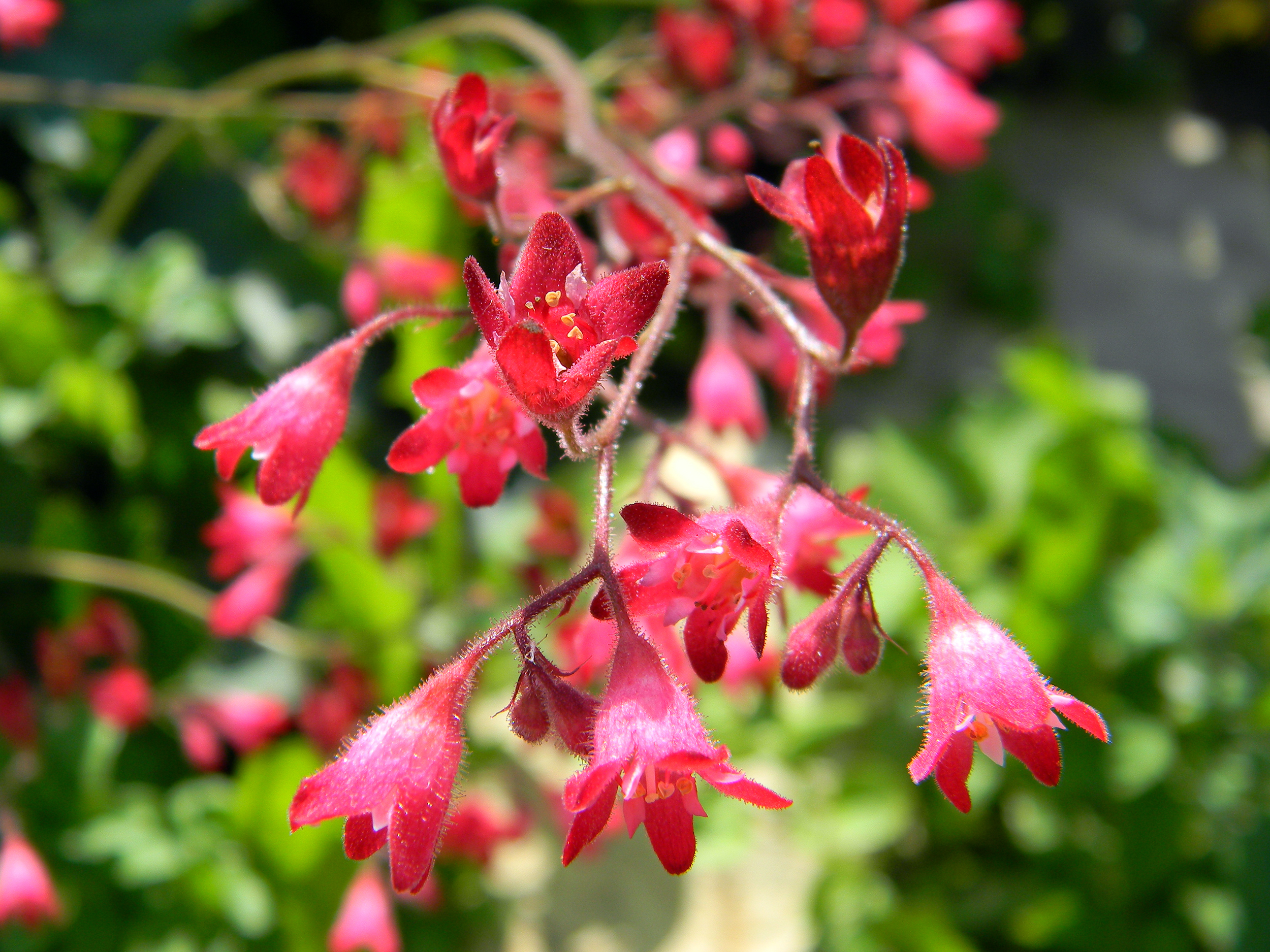 Pink Coral Bell flowers hanging in the sun.