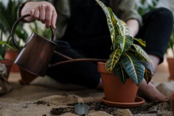 Watering a painted leaf begonia