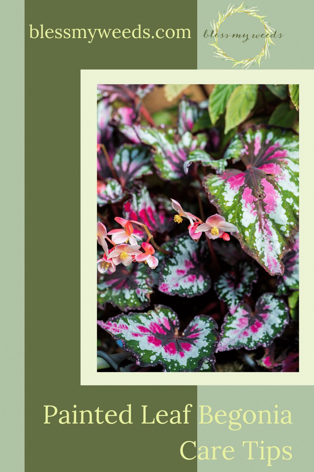 Blessmyweeds.com makes gardening easier than ever with helpful hacks and perfect plant recommendations! Let your hard work fully bloom and master your technique. Find out how you can better care for your painted leaf begonia!