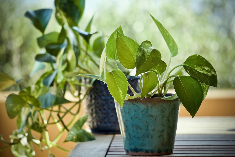 Neon pothos indoor plant varieties