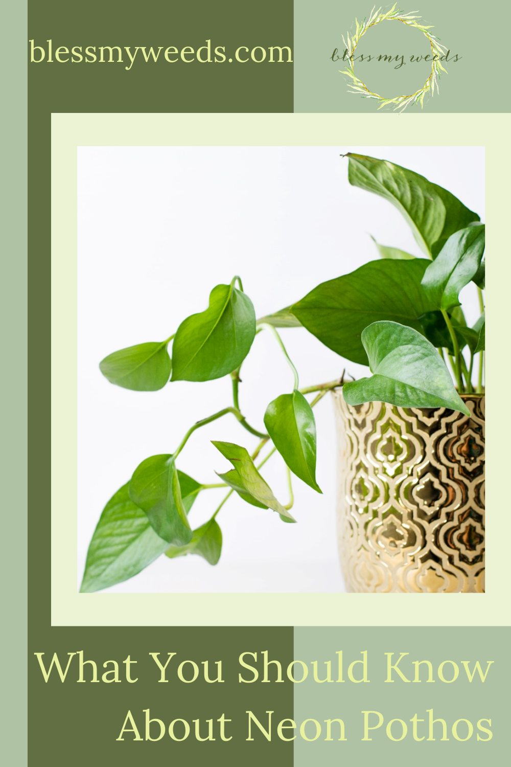 Blessmyweeds.com makes keeping healthy house plants easy for anyone! Learn what to grow and how to care for it. Find out all you need to know to grow happy, healthy neon pothos.