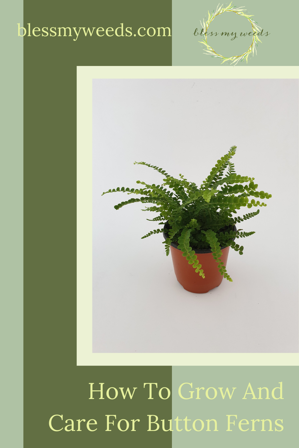 Blessmyweeds.com makes keeping healthy plants easy for anyone! Learn what to grow and how to care for it. Find out all you need to know to grow button ferns in your home!