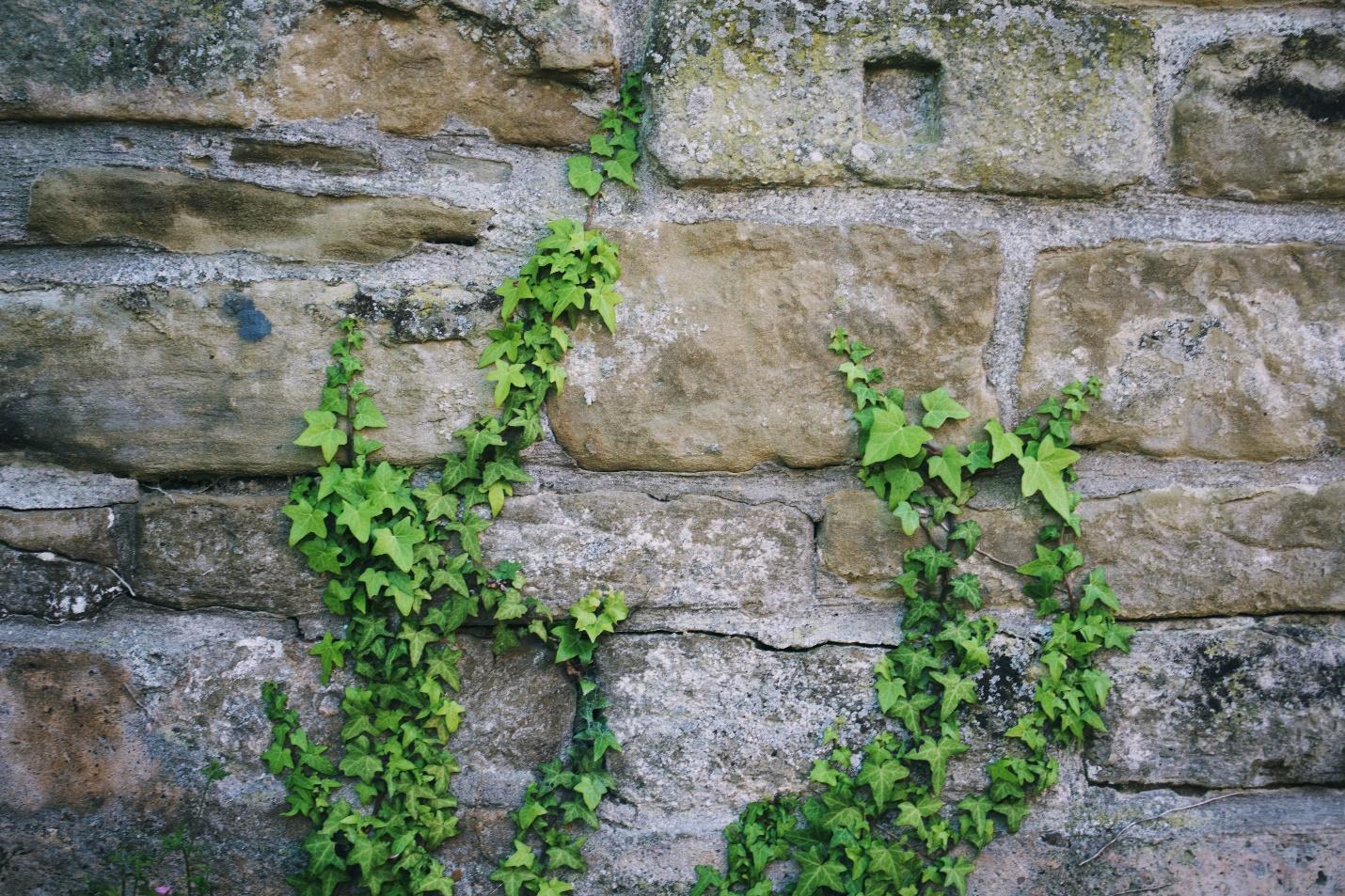 German Ivy Fertilizer Requirements