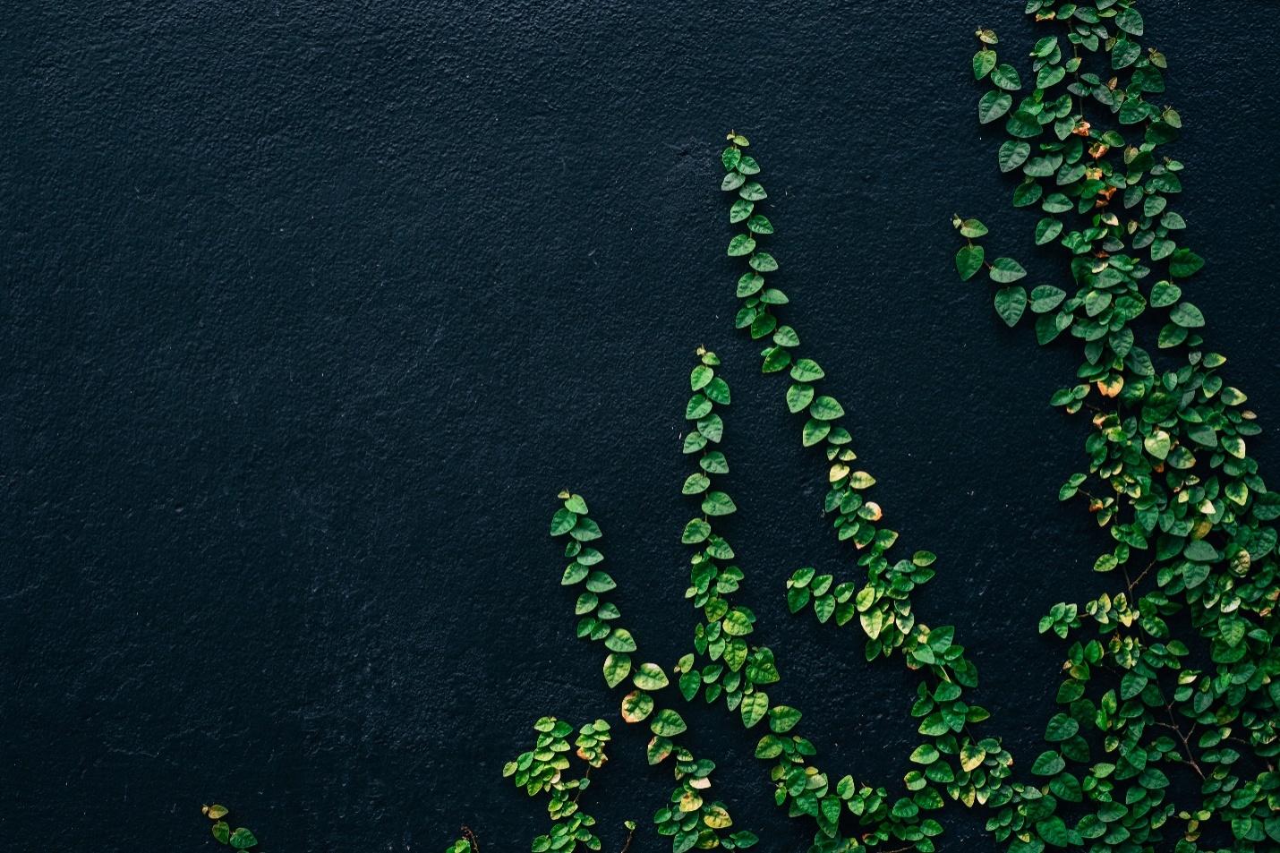German Ivy Growth