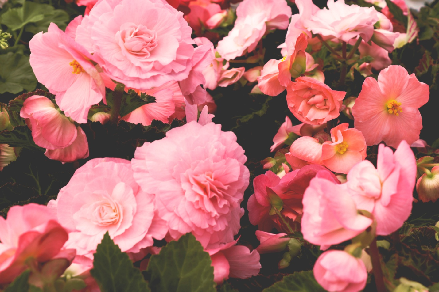 Petunia flower for your garden