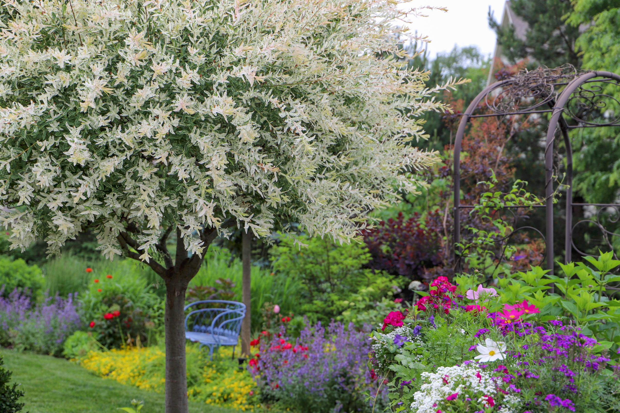 Dappled Willow Tree