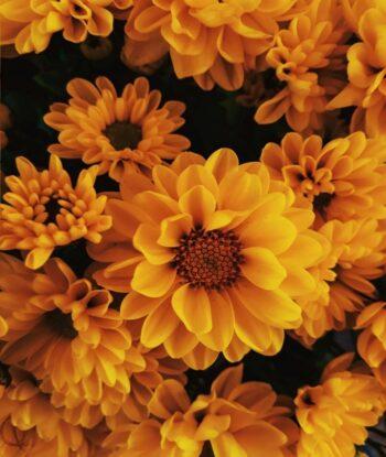 Planting daisies in your garden