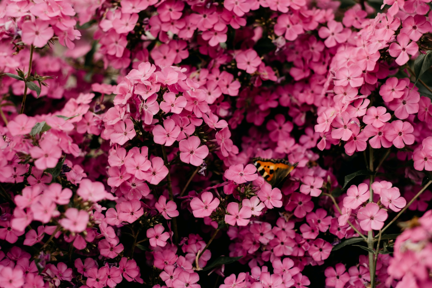 Planting pansies in your garden