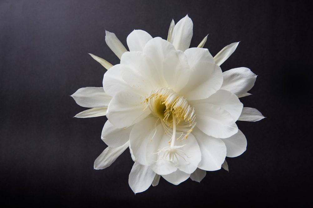 The bloom of queen of the night flower