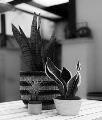 Water requirements of a snake plant