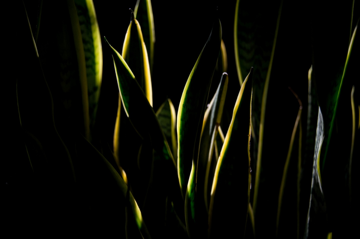 Growing snake plants indoors